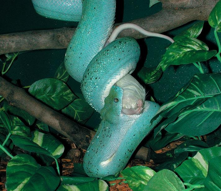 Green tree python feeding on mouse.