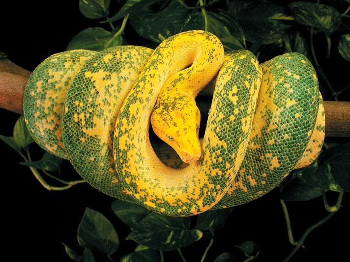 High yellow Chondro