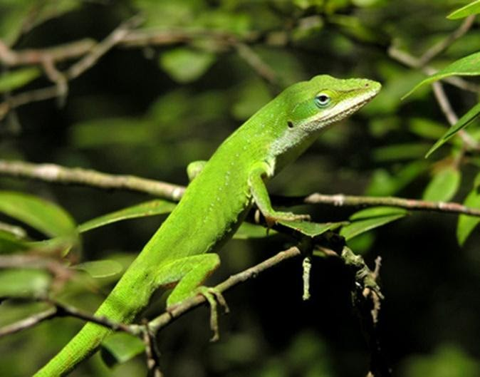 Green Anole is worst lizards for beginner