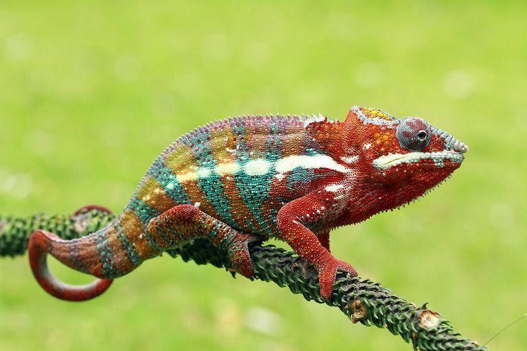 Chameleon is worst for beginner
