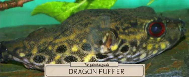 Dragon Puffer