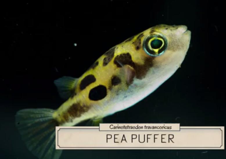 Pea Puffer