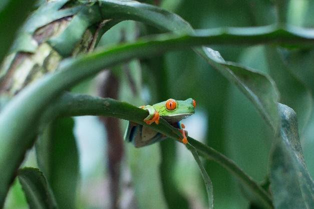 Red-Eye Tree Frog in the Wild