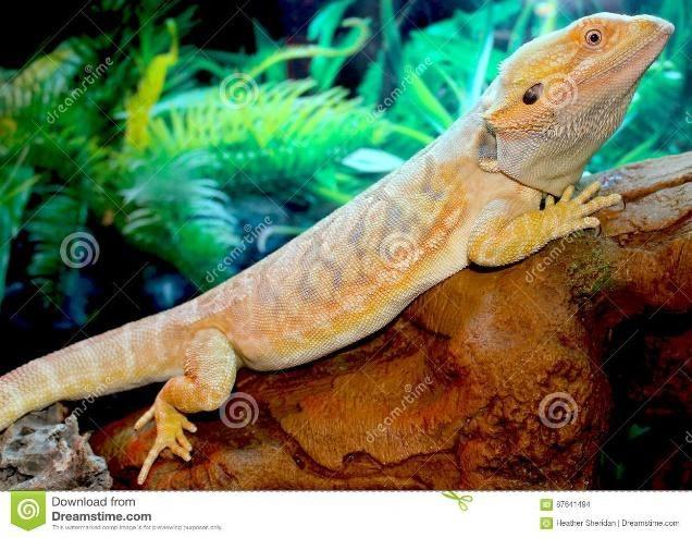 Bearded Dragons Pet