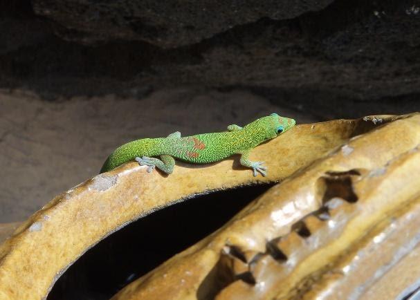 Gold-Dust Day Gecko Pet