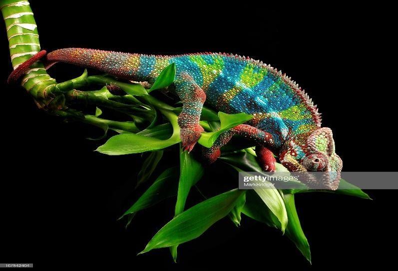Panther Chameleon Pet