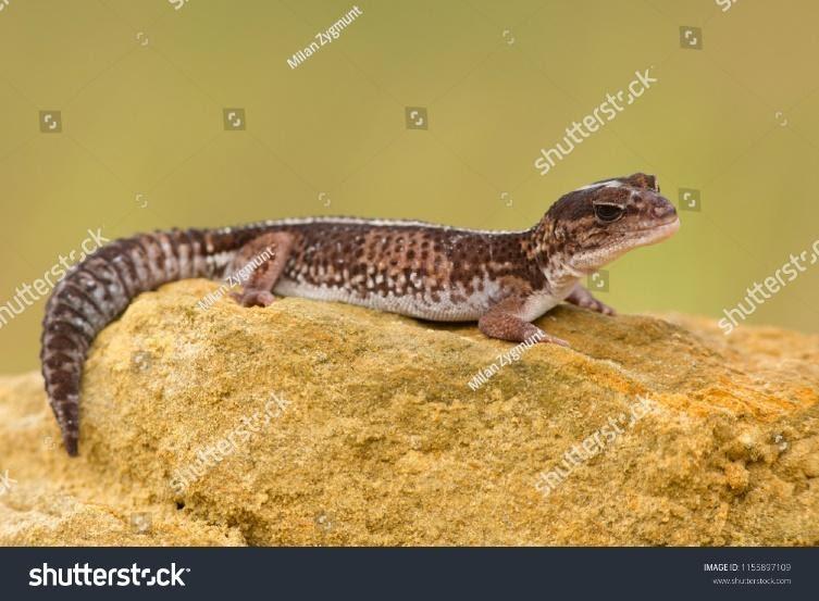 Pet African Fat Tail Geckos