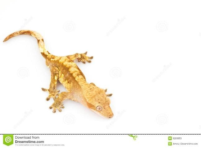 Crested Gecko - Cute pet lizard