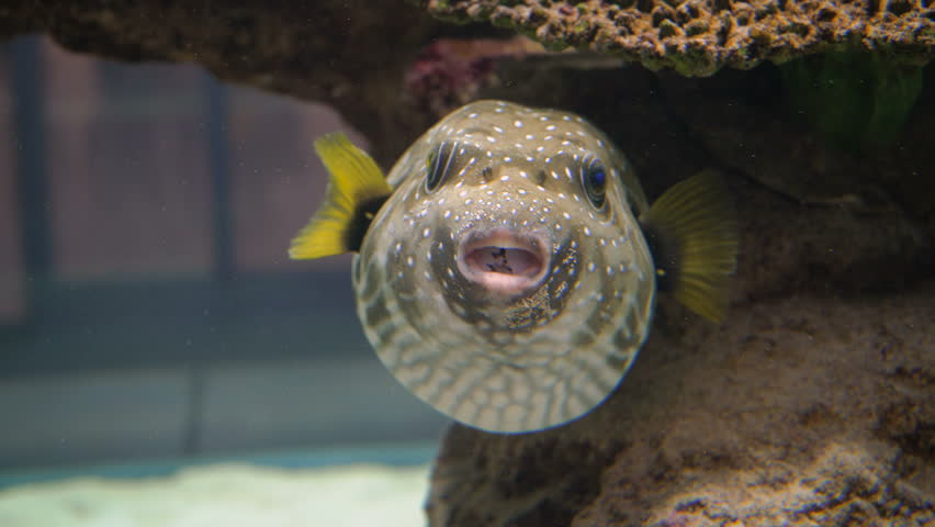 pufferfish can grow to more than 61 centimeters