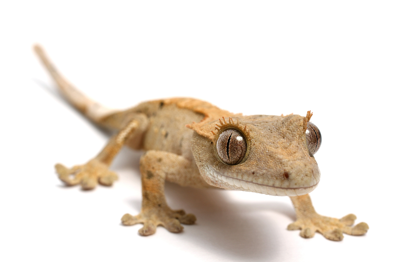 Crested Gecko - Best starter lizards with simple
