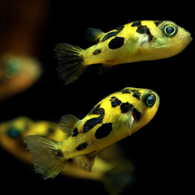Image result for Dwarf puffer