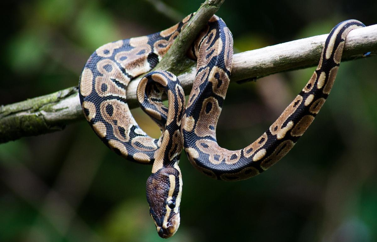 Wild-Caught Ball Pythons (Python Regius)