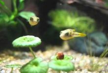 Photo of Freshwater puffer fish food – Does it eat everything?