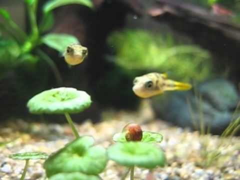 Image result for live food for feeding puffer fish