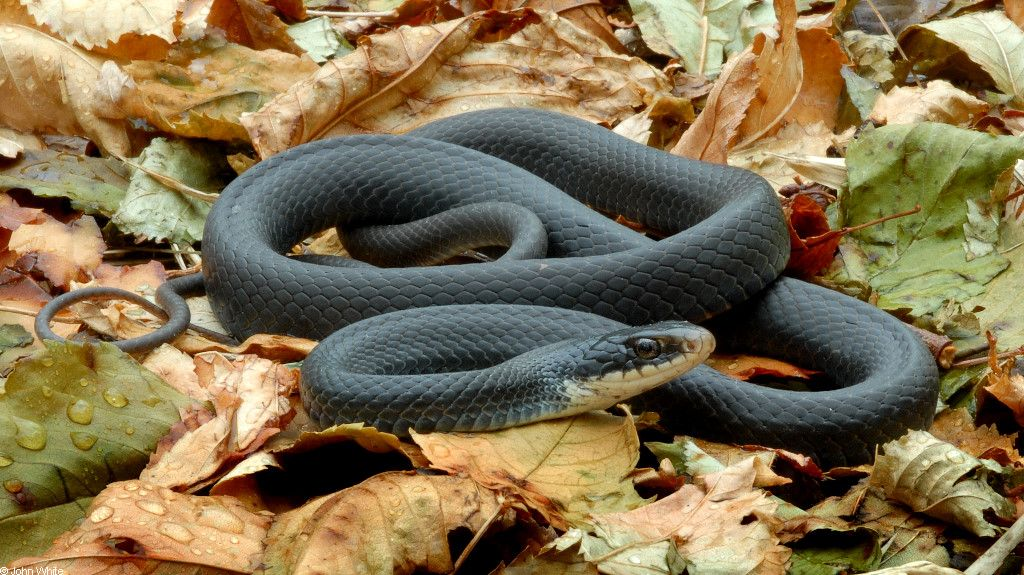 Black Racers (Coluber Constrictor Constrictor)