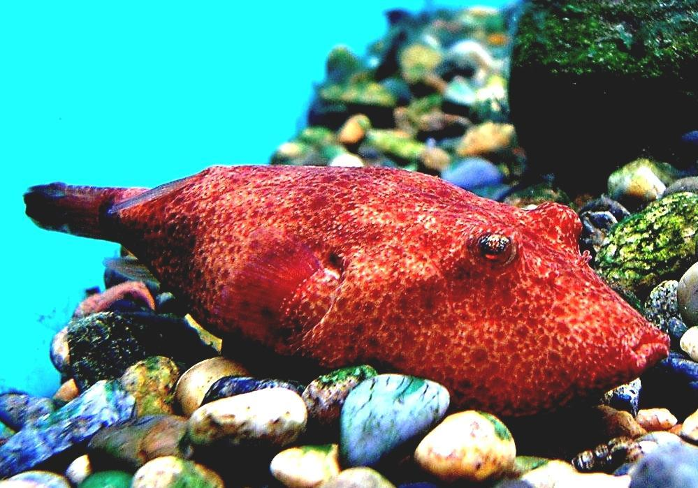 Image result for Congo puffers