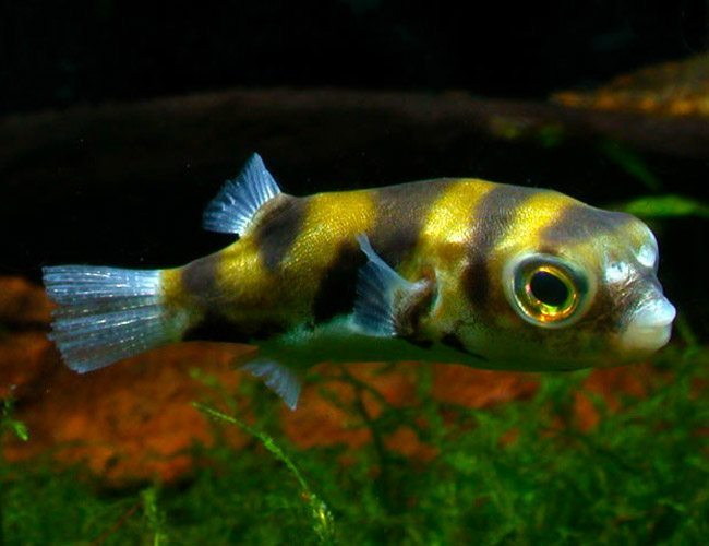 Image result for south american puffer
