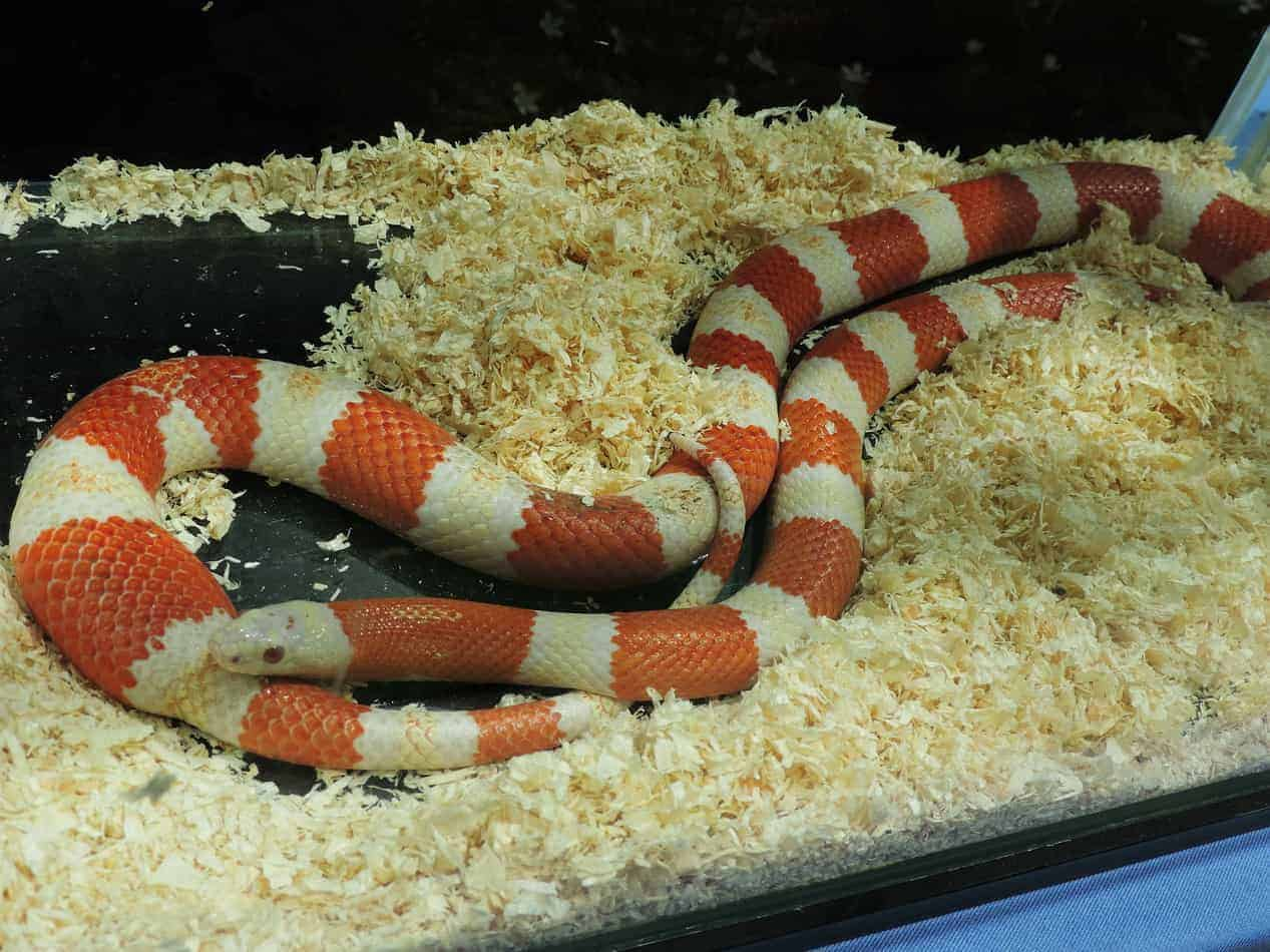Photo of 24 Milk Snake Morphs with pictures