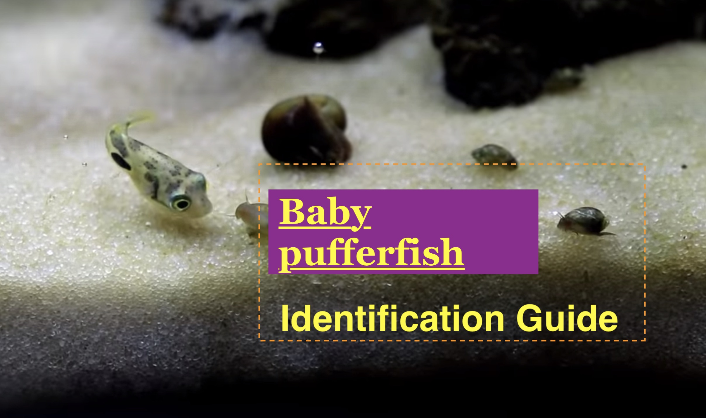 Photo of Baby pufferfish Identification Guide