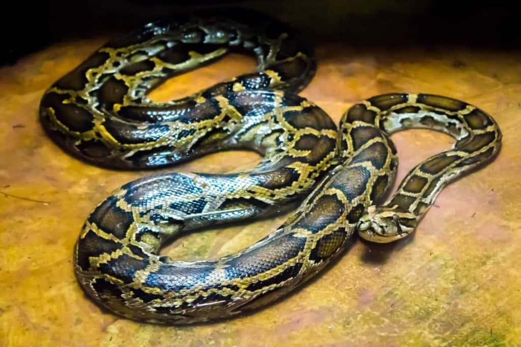 Burmese Python (Python Molorus Bivittatus)