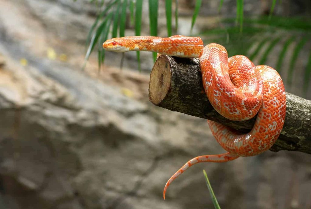 Where are Corn Snakes From?