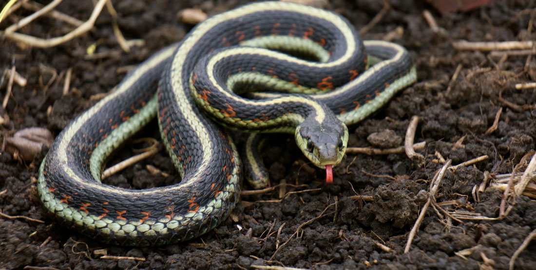 Image result for Garter Snake