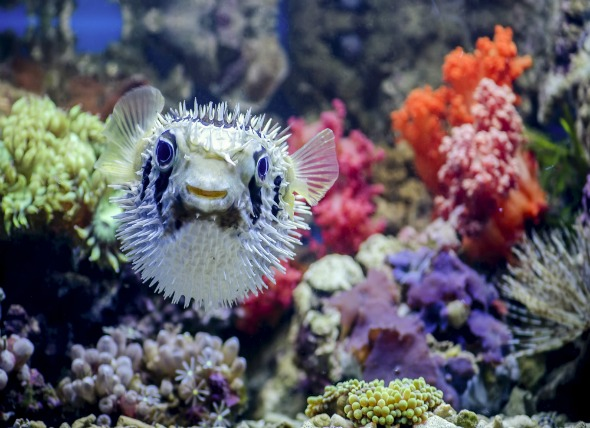 Pufferfish that are Reef Safe