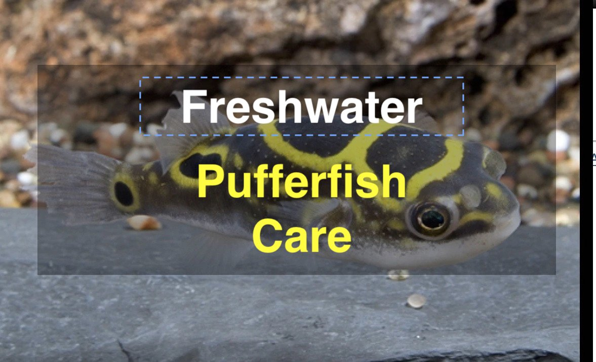 Photo of Freshwater PUFFER FISH care (Everything you need to know)