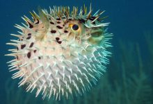 Photo of What Happens If Puffer Fish Not Puffed