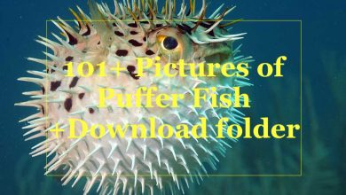 Photo of 101+ Pictures of puffer fishes: HD Download Folder