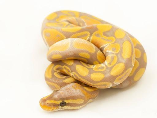 Python Banana Ball Python