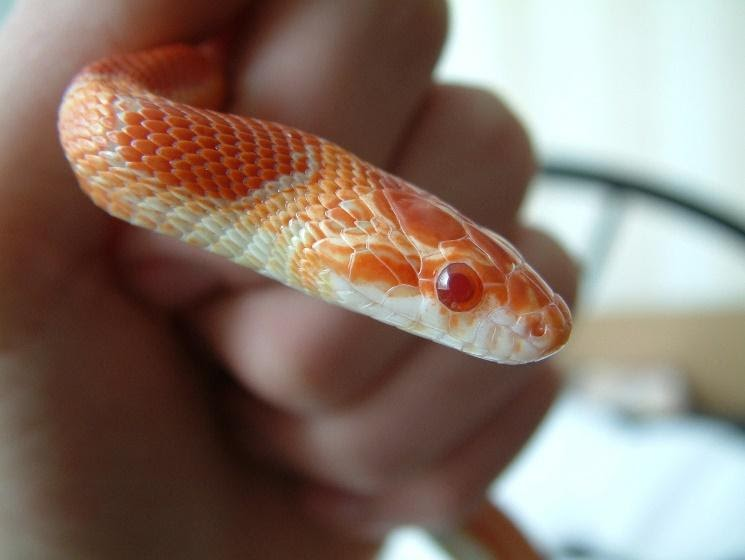 corn snake is a cute small snake species that you can keep