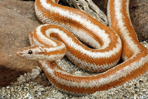 rosy boa is another small snake species
