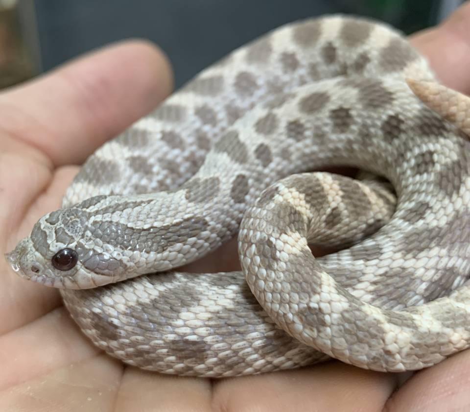 Western Hognose Snake