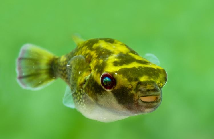 Ocellated Puffer Fish