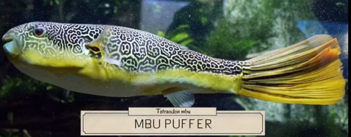 Photo of Age and growth of Pufferfish