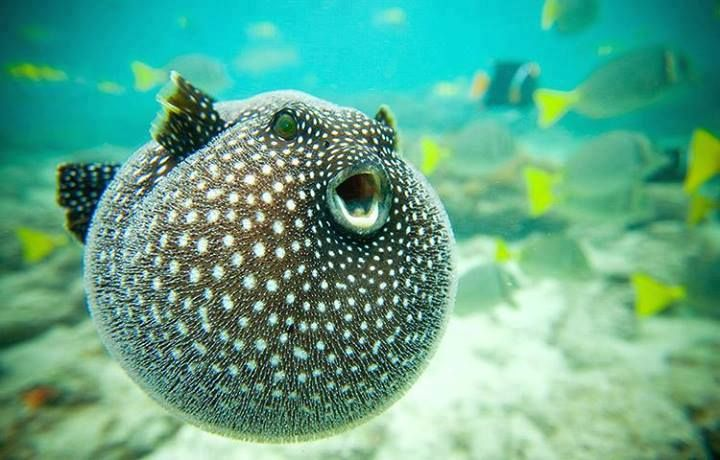 puffer fish not puffed