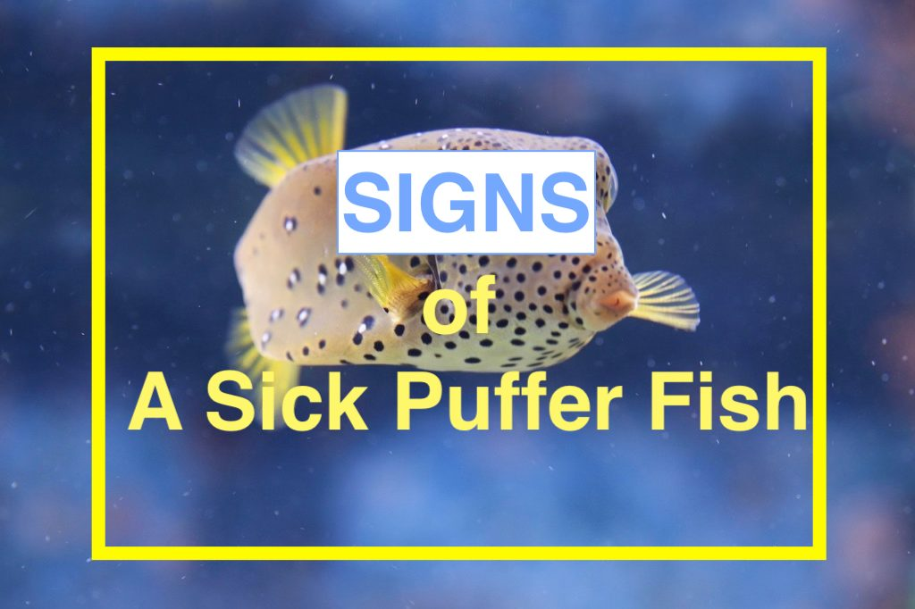 Photo of How To Tell If Your Puffer Fish Is Dying – 11 Signs of pufferfish