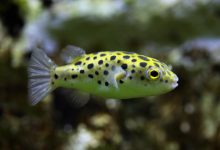 Photo of [Expert Thought] Small puffer fish saltwater
