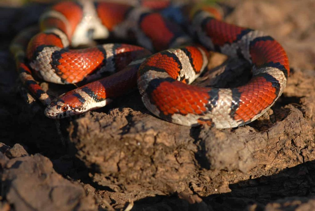 Milk snakes are climbers, but they don't do this often