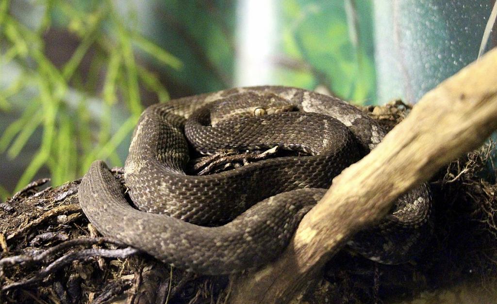 rare snake: Alcatrazes Lancehead