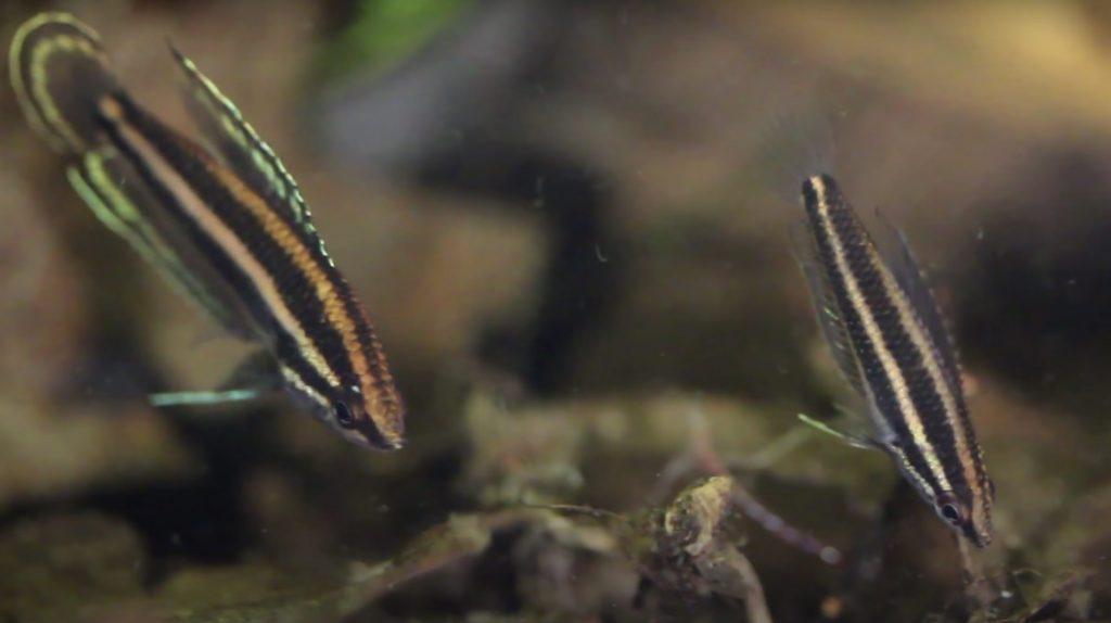 Bintan Gourami fish