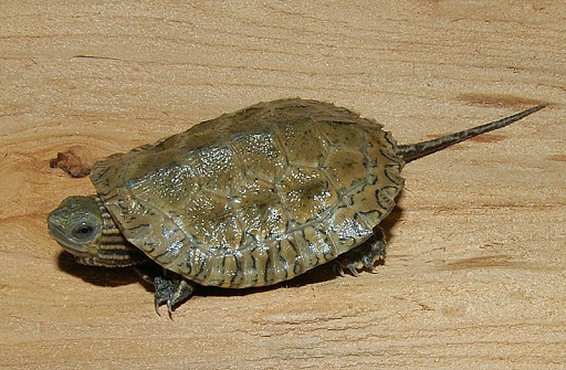 Cute pet: Caspian Pond Turtles
