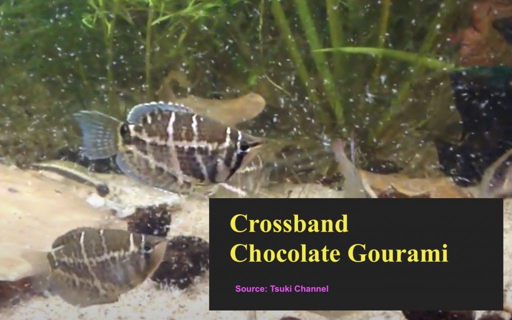 Crossband Chocolate Gourami fish