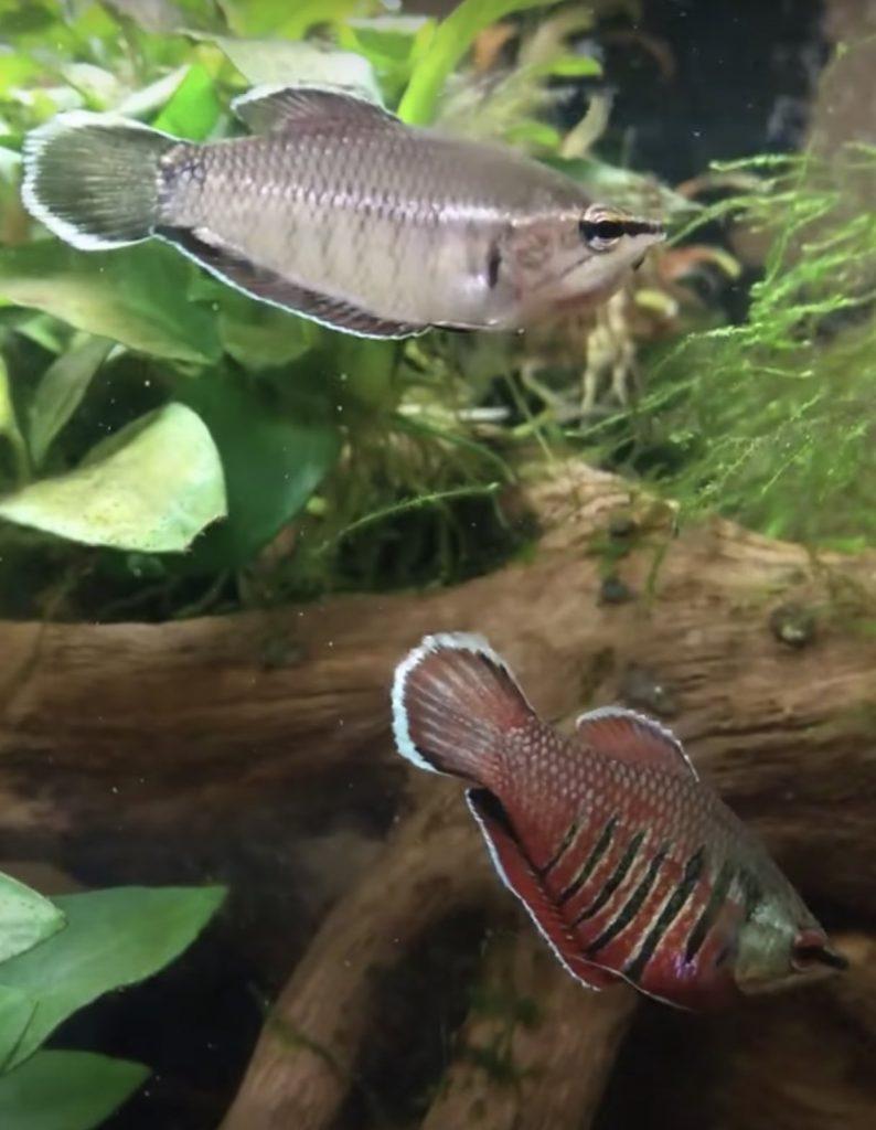 Samurai Gourami Fish