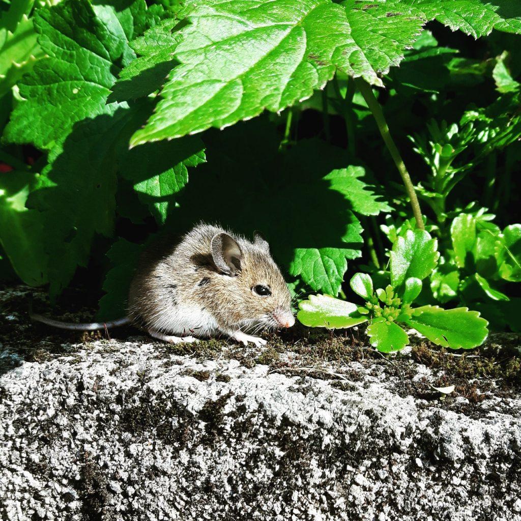 baby snake eat rat(small rat)
