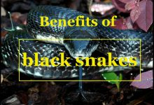 Photo of Benefits of Black Snakes – Reason you should and should not keep it?