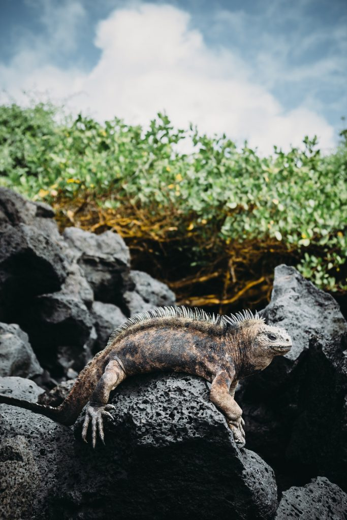 iguana growth speed quite vary