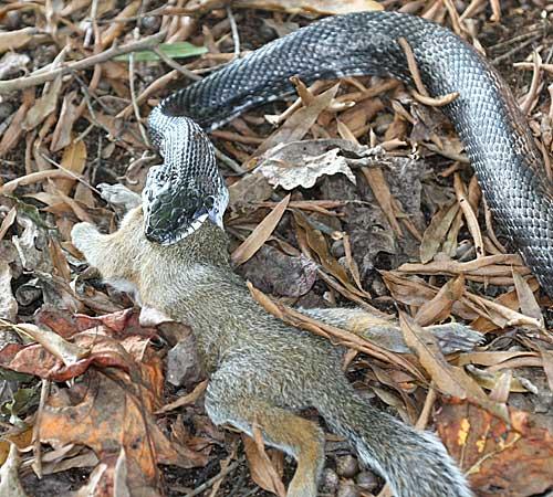 black snake help to control pest
