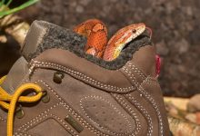 Photo of Corn Snakes: The complete overview for starter